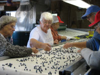 Blueberry growers sorting blueberries